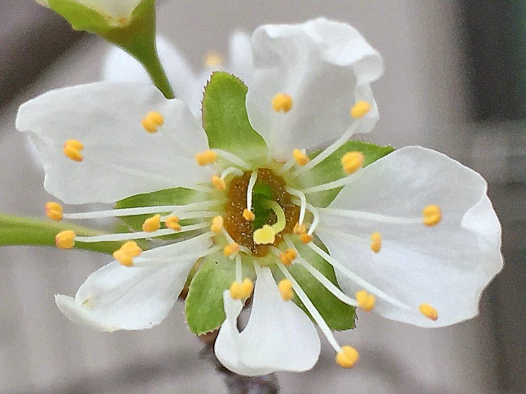 スモモの花、雌しべは1本、雄しべは多数、黄色い葯が白い花に映えます