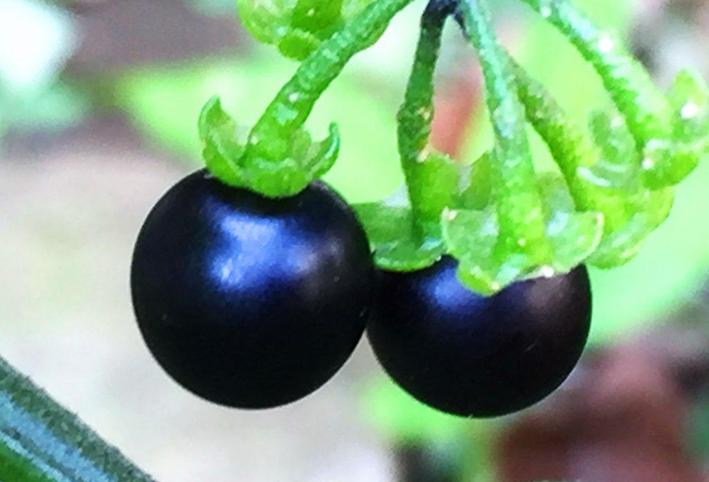 イヌホウズキの果実