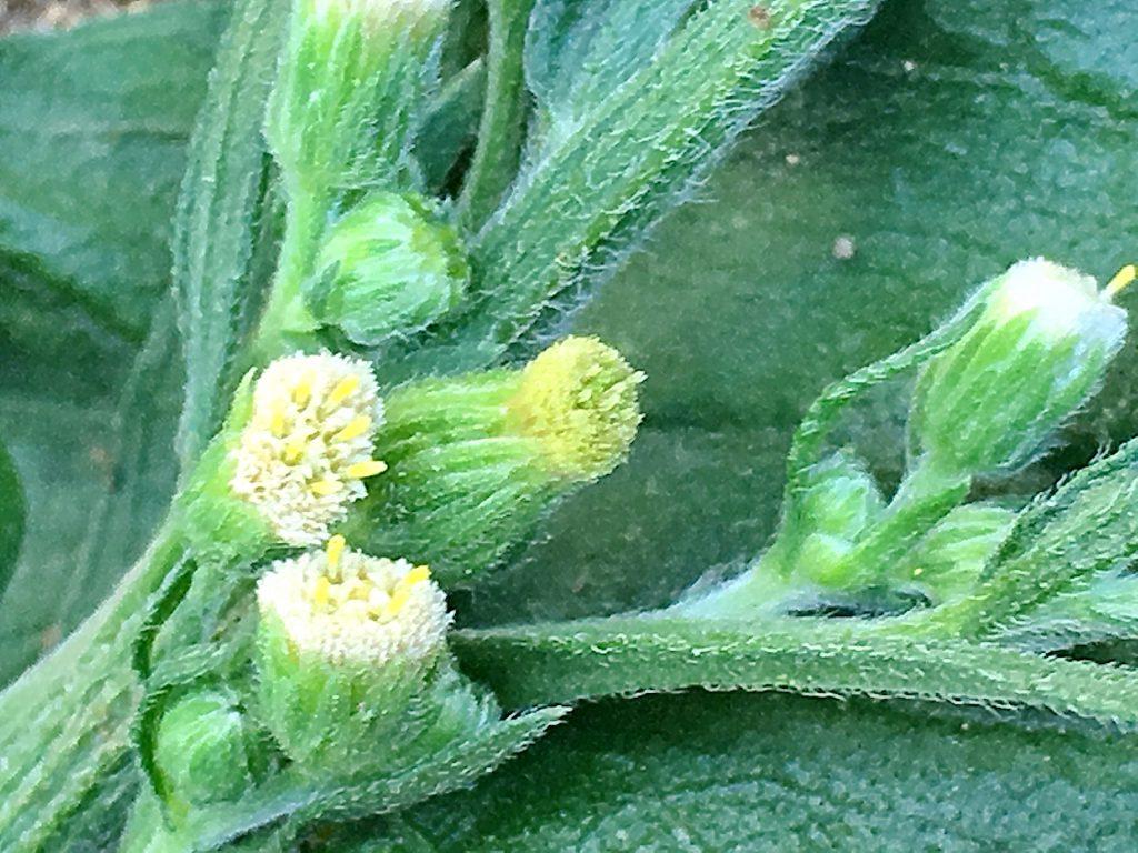 オオアレチノギクの花