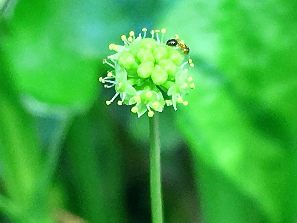 オオチドメの花