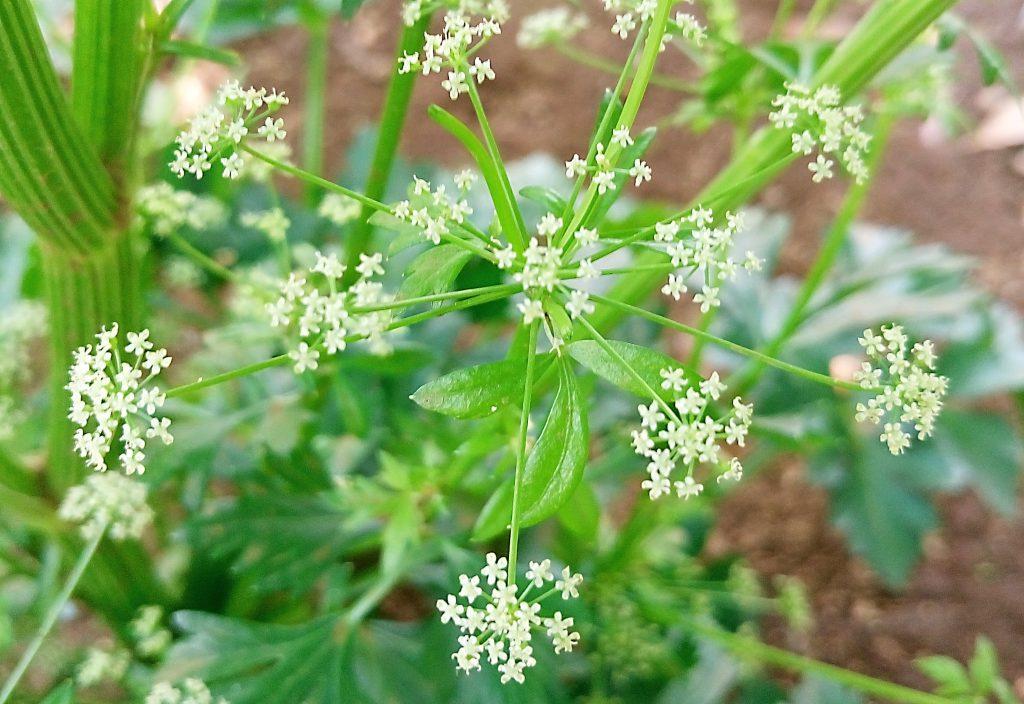 セロリの星のような小さな白い花