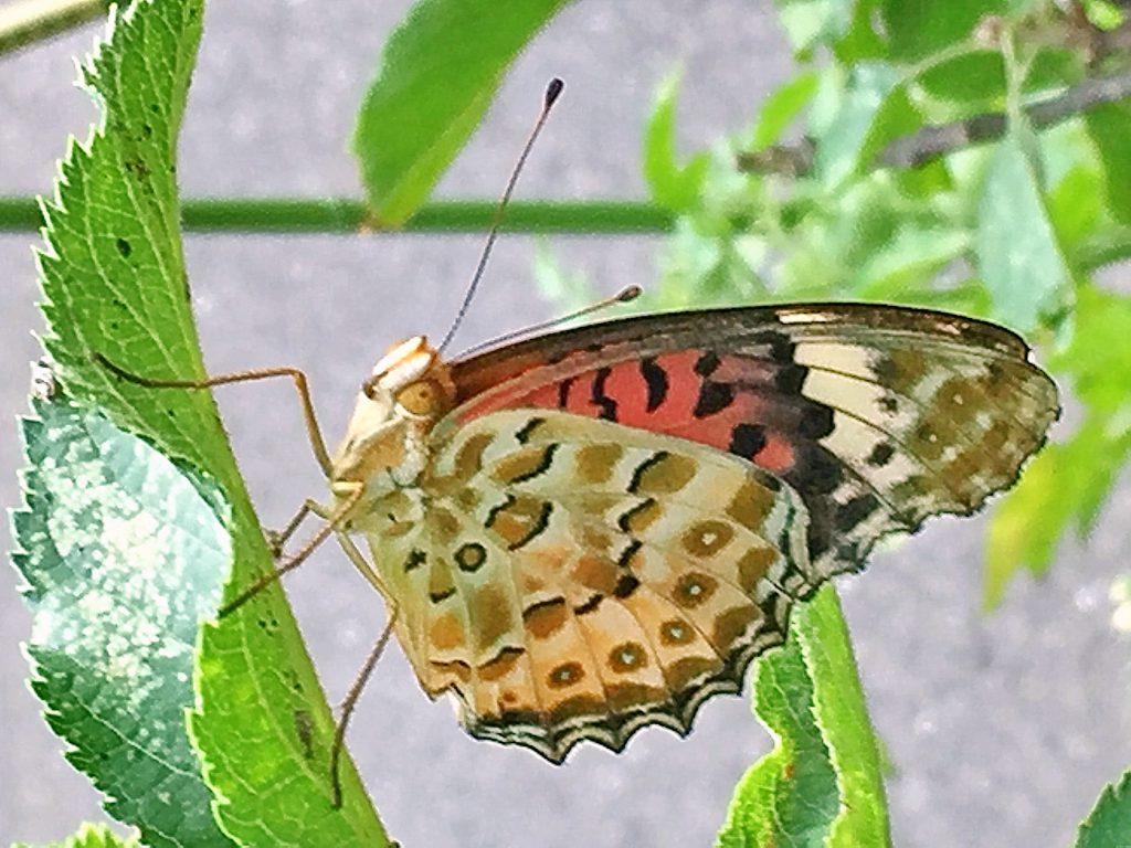 前翅の根元の地のピンク色が目立つツマグロヒョウモン