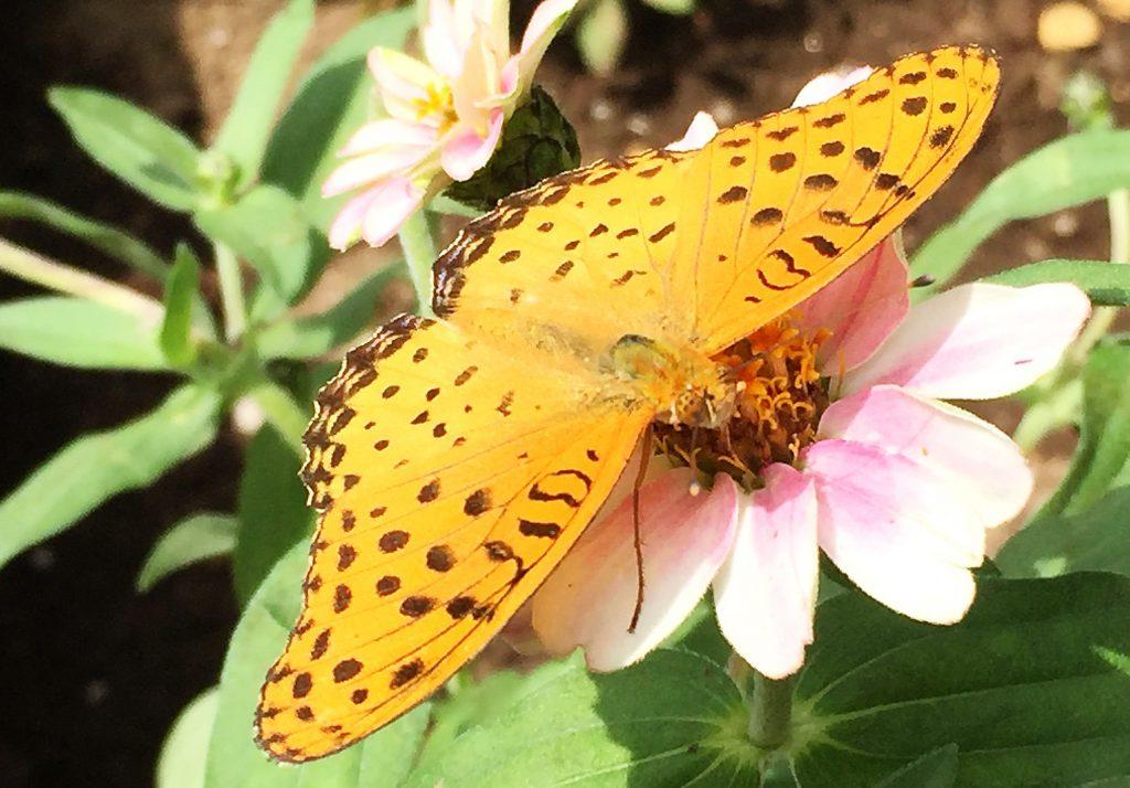 薄い茶褐色の地に濃い黄褐色の斑、後羽の黒い縁取りの雄のツマグロヒョウモン