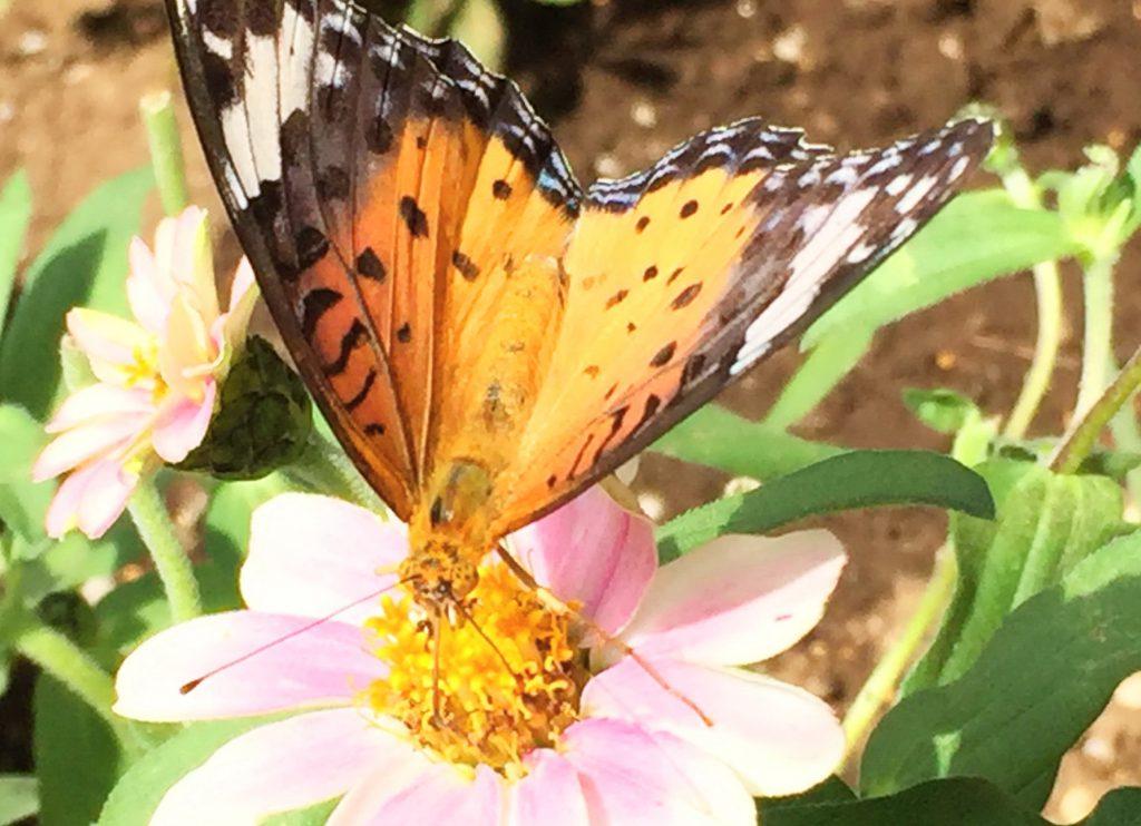 前羽の黒色と白い帯が特徴の雌のツマグロヒョウモン