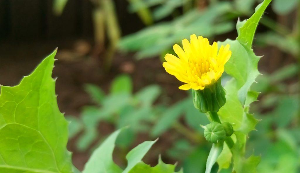 小さいですが、なかなかきれいなノゲシの花