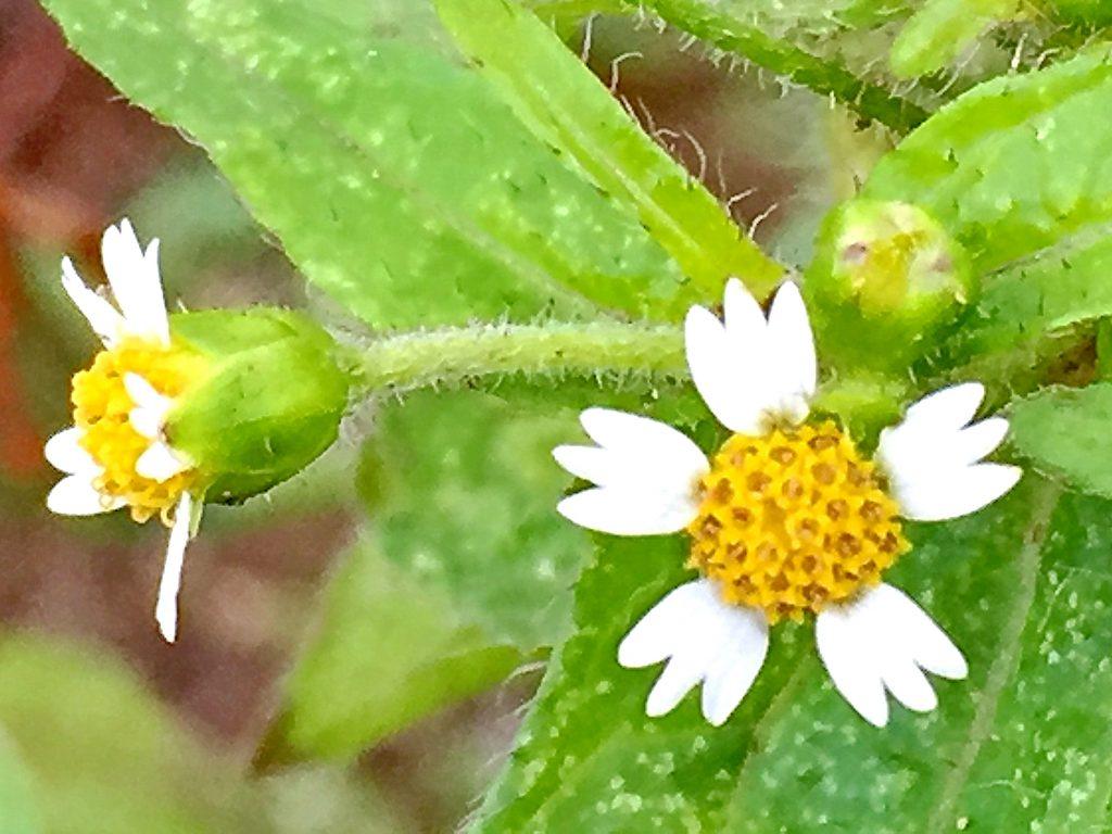 先端が3つに割れた白い舌状花が可愛いハキダメギク