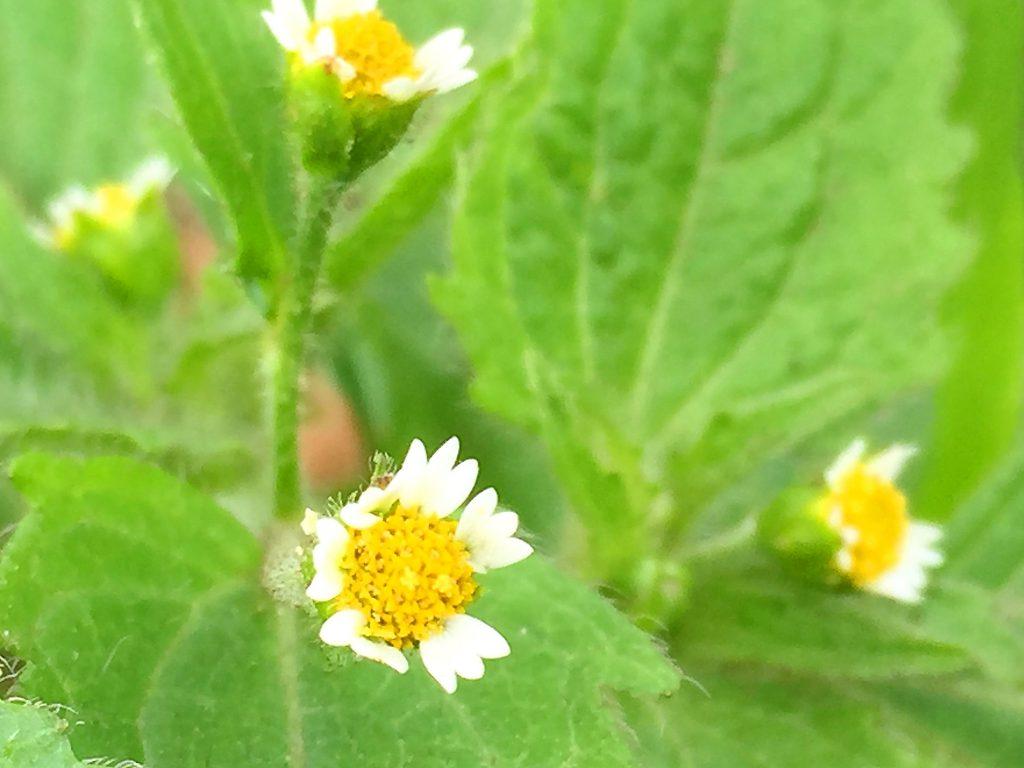 ハキダメギク(掃溜菊)の花