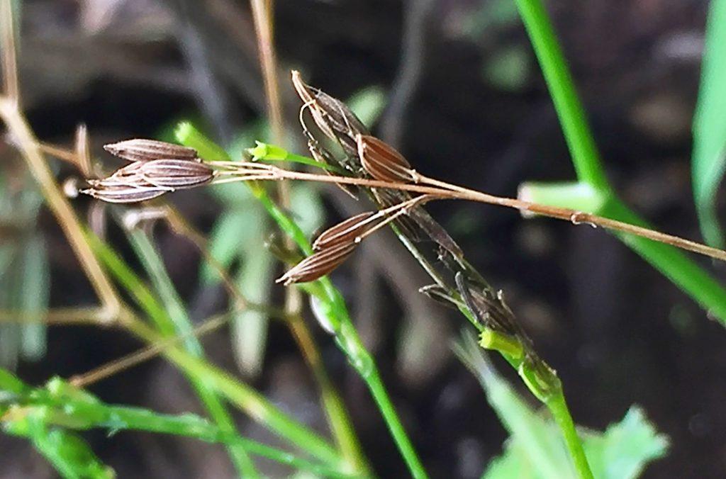 カラカラになった鞘がはじけて細長いミツバの種がこぼれています