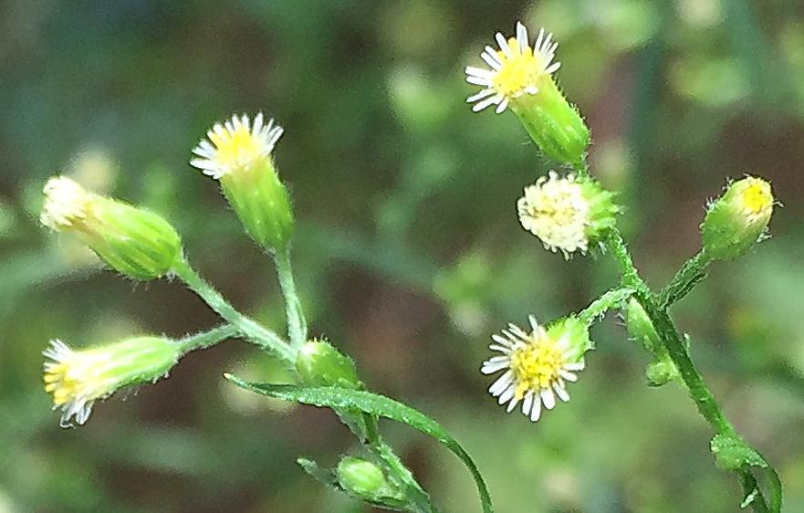 小さなヒメムカシヨモギ(姫昔蓬)の花