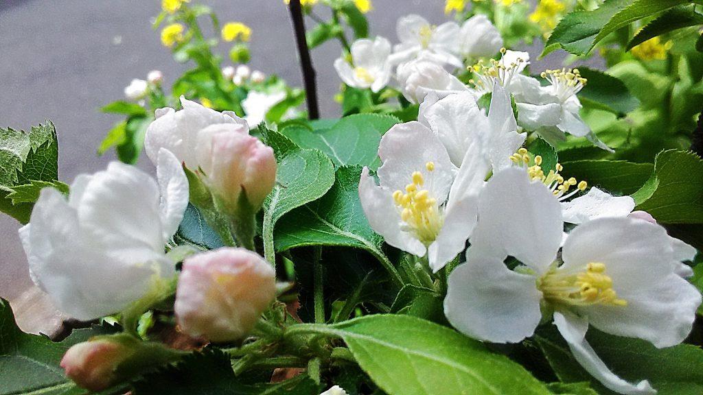 アルプスの少女の花