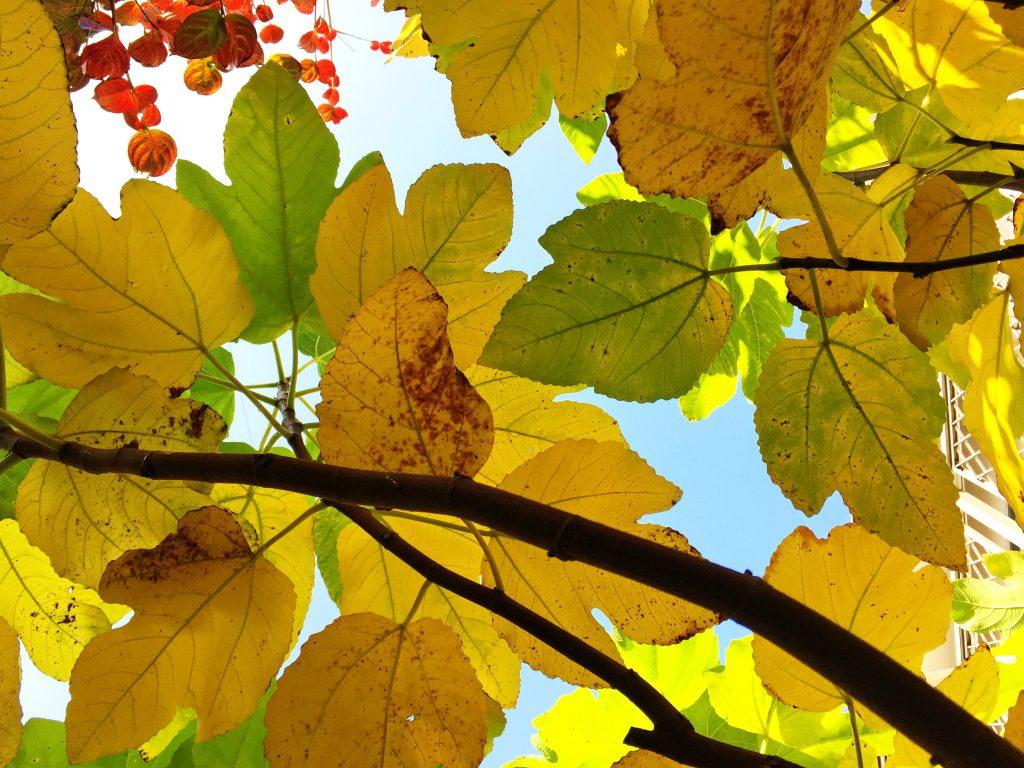 無花果の葉裏から空の青さ