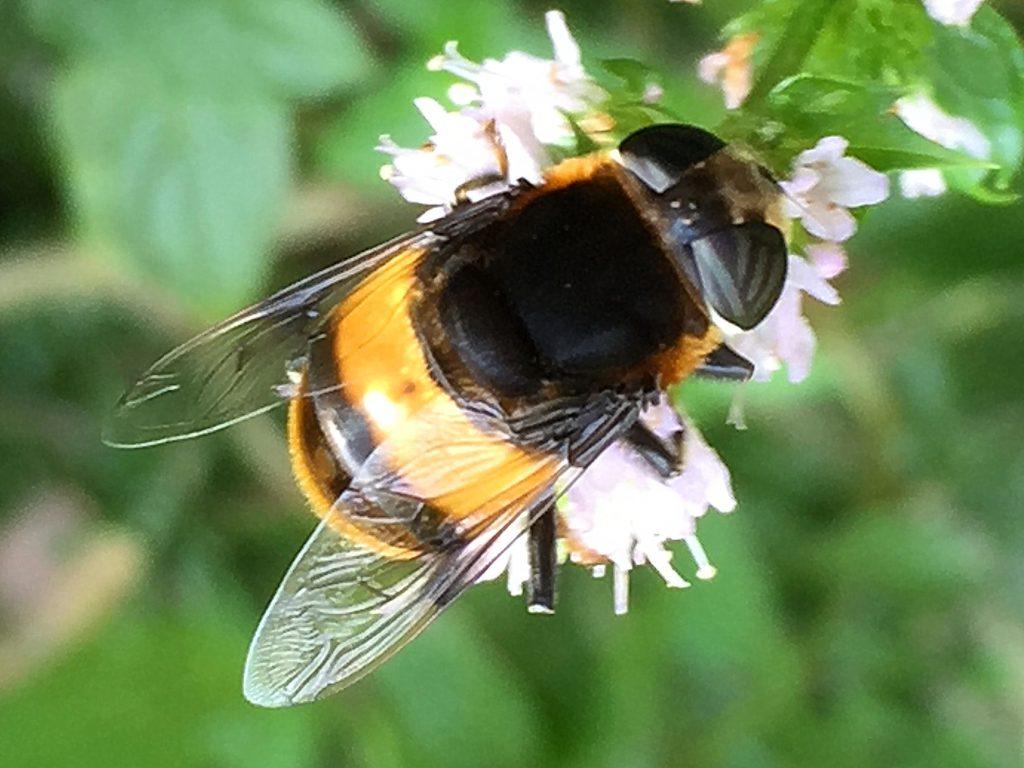 ハチの真似をしているオオハナアブ(雌)