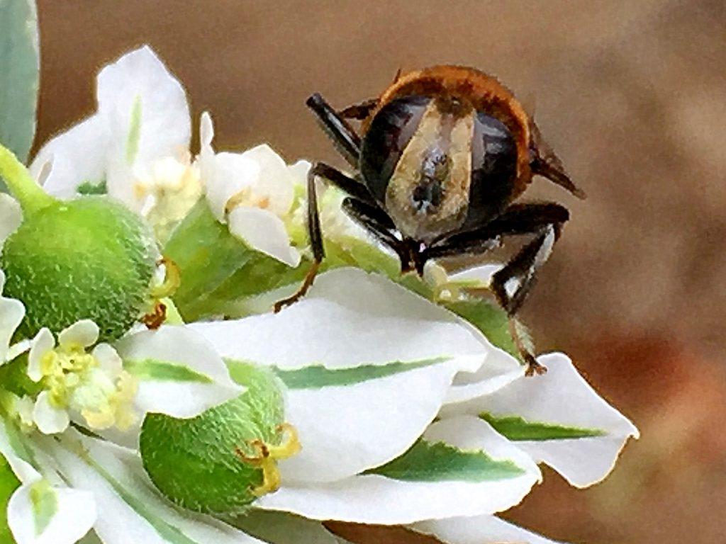 ハツユキソウの上で土器のお手入れ中のオオハナアブの雌