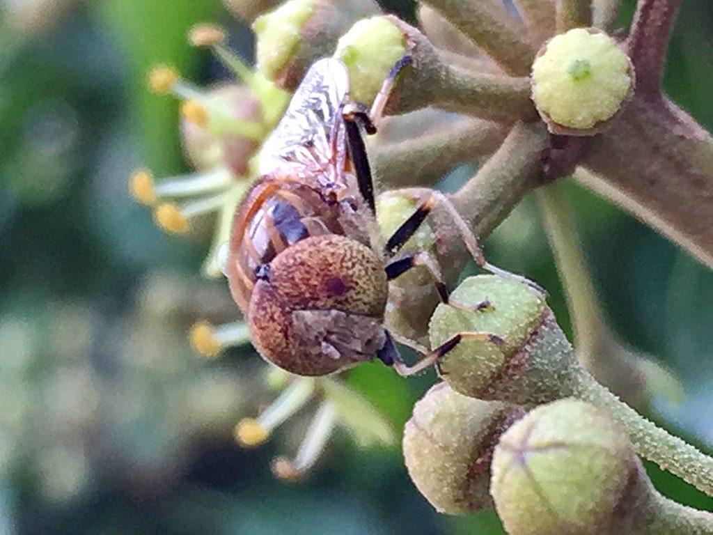 黄色地に褐色に点々を散らした変わった複眼を持つキゴシハナアブ