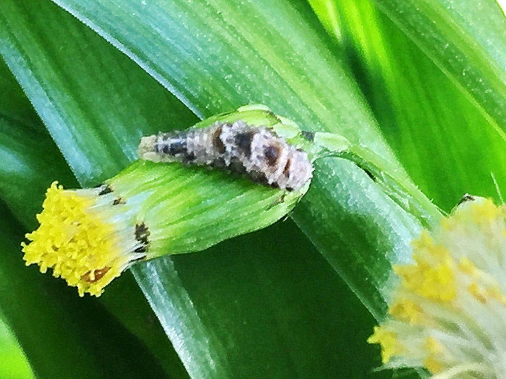 クロヒラタアブの終齢幼虫