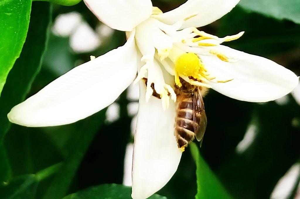 レモンの花に頭を突っ込んでお尻にも花粉を付けてるシマハナアブ