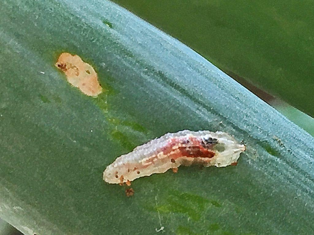 アブラムシやカイガラムシを食べて成長するヒラタアブの幼虫