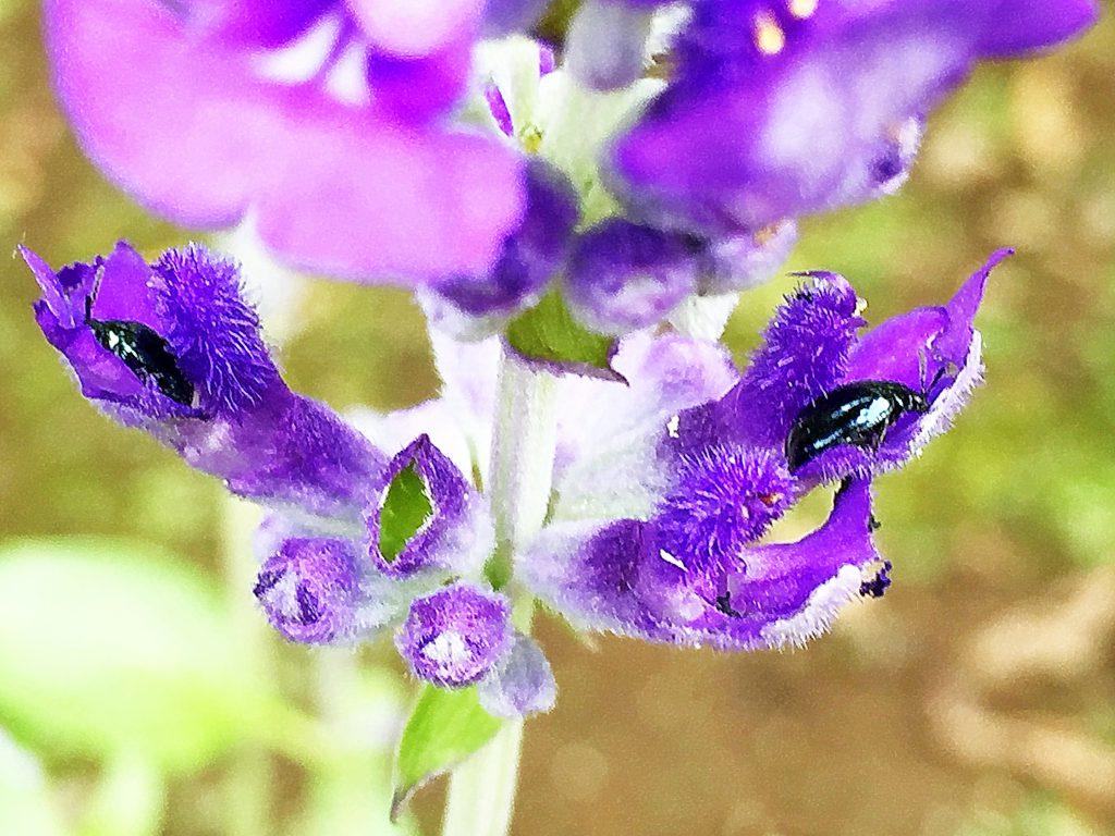 華奢なブルーサルビアの花には常に複数のルリマルノミハム、ぼろぼろになりました