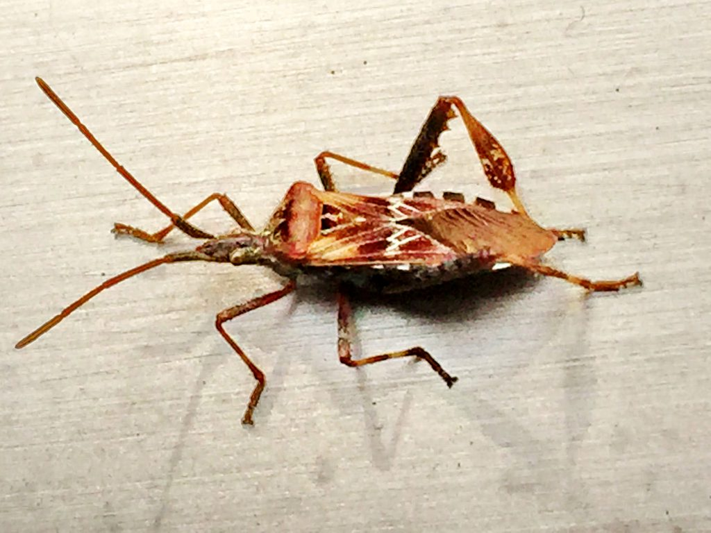 後ろ脚が発達し、オール状の葉状片があり、7個ほどの鋸歯があるマツヘリカメムシ