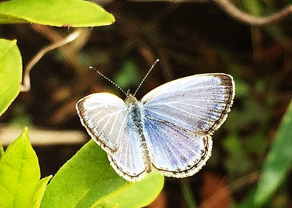 ヤマトシジミの雄の羽の表側はきれいな青色、周りに細い黒い縁があります