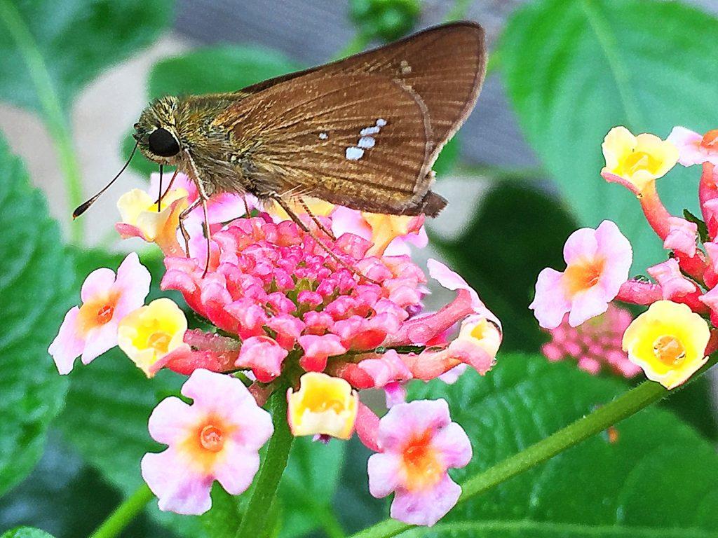 ランタナの花の蜜を吸う一列の銀紋がはっきり入ったイチモンジセセリ