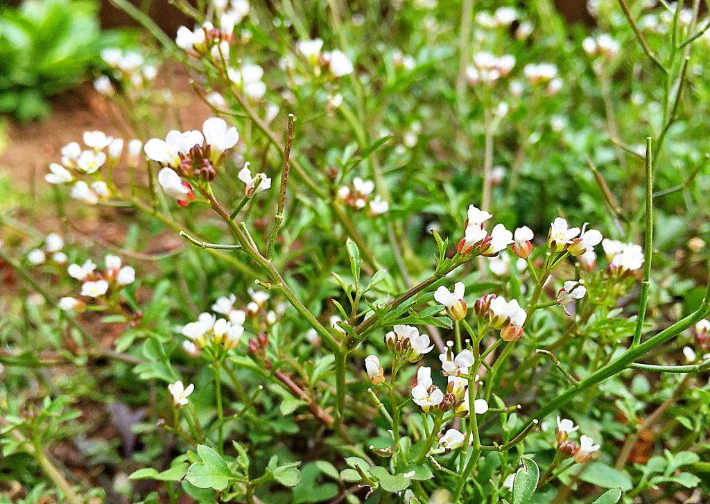 アキノタネツケバナ(秋の種浸け花)