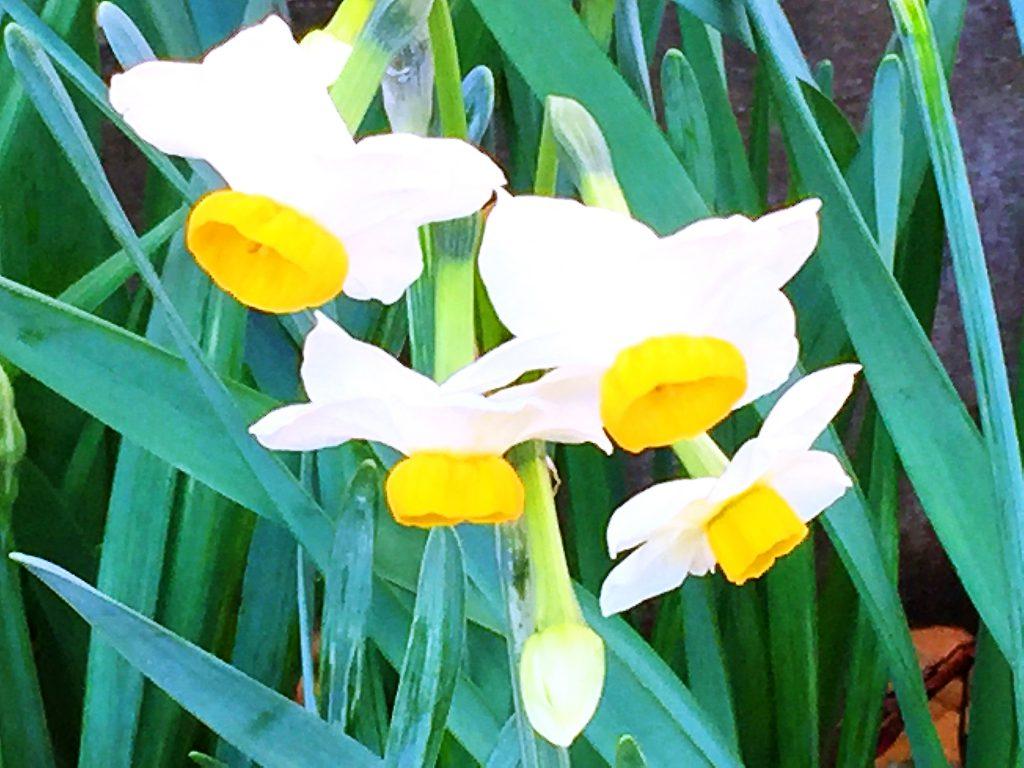 日本水仙は白色の花被片に黄色い副冠が鮮やか