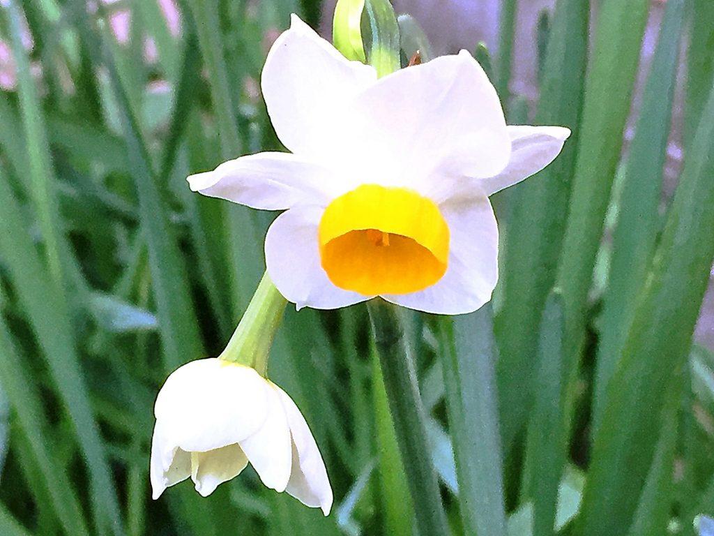 ラメのようにキラキラした日本水仙の花