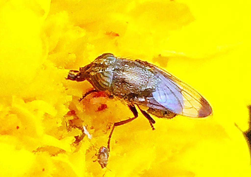 翅の先端が黒くなっていてツマグロギンバエの名の由来です