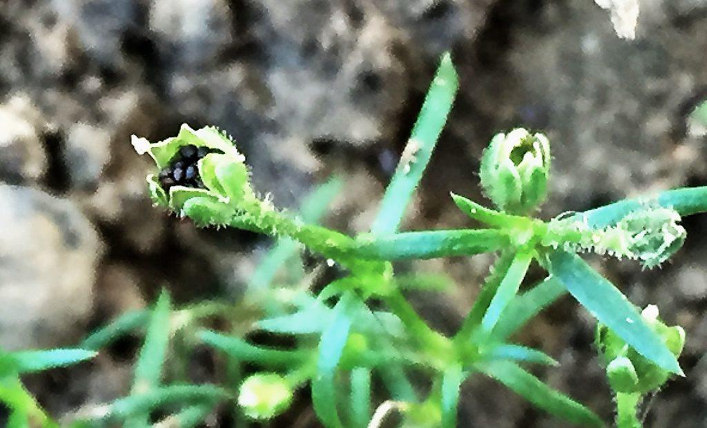 ツメクサの果実の先端が5裂して突起のある黒い種子が零れそう