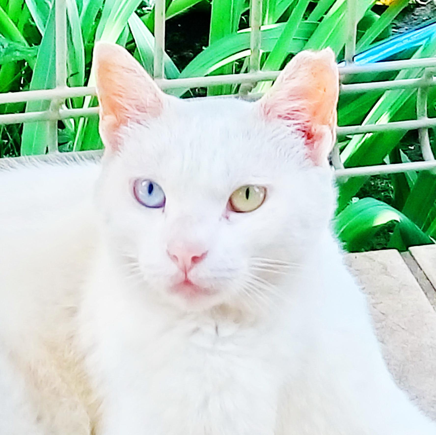 オッドアイの白猫ちゃん