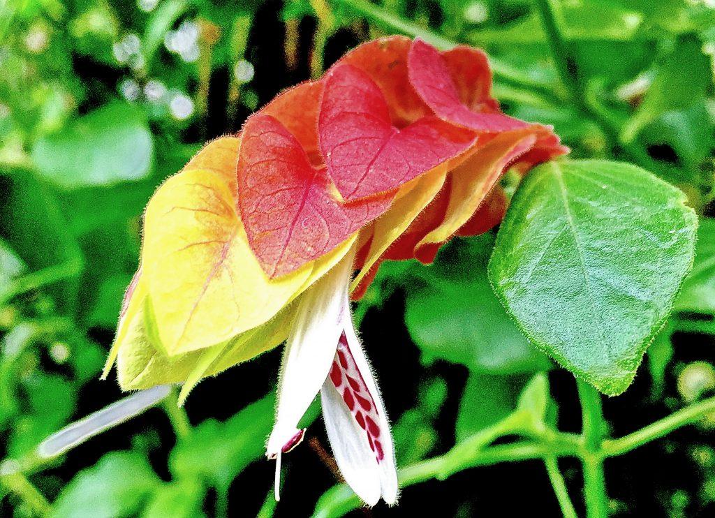 ベロペロネの花は白く細長い筒状で下唇には紫色の斑紋があり雄しべが2本付く