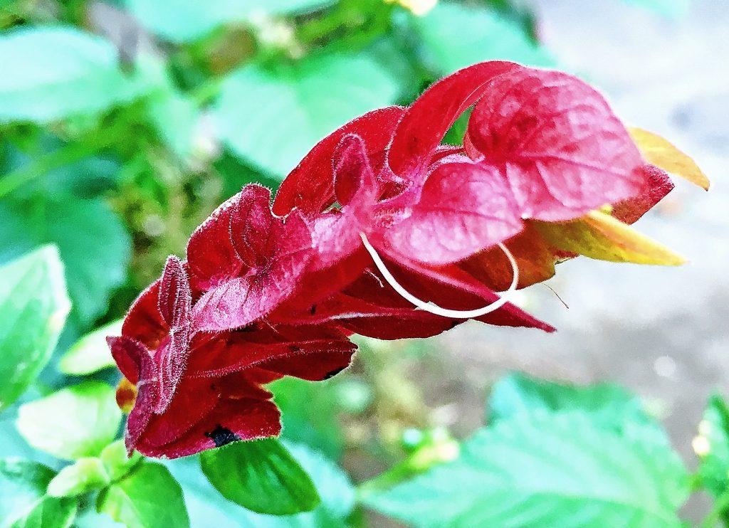 ベロペロネはハート形の苞葉が鱗のように重なり湾曲し、薄緑色から茶褐色に色づきます。