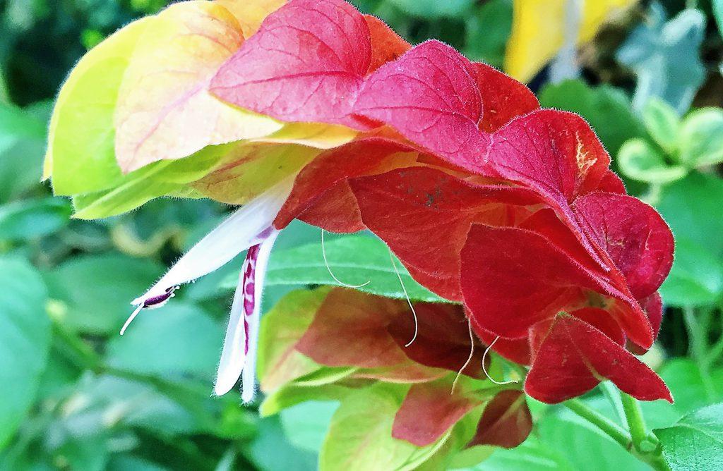 ベロペロネは5~10cmの穂状花序をだし、付け根から順に咲いていきます