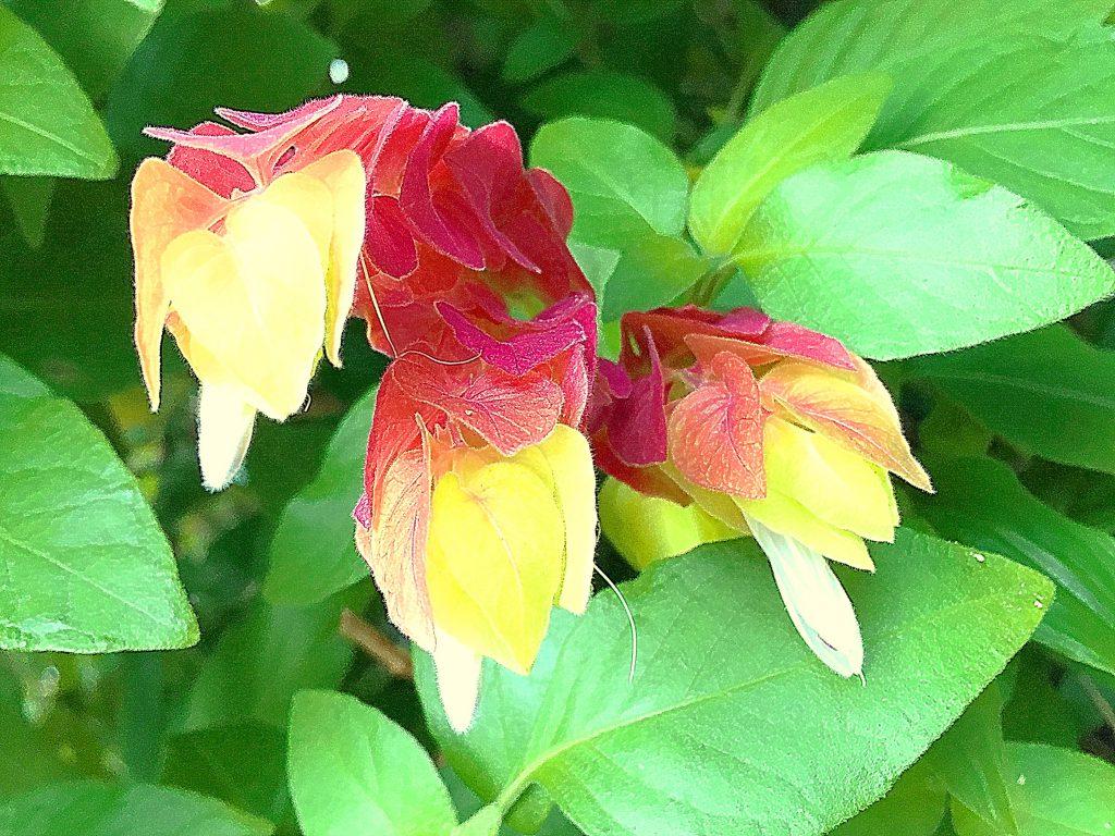 ベロペロネは葉は長さ3~7cmの卵形で先が尖り、対生に付きます