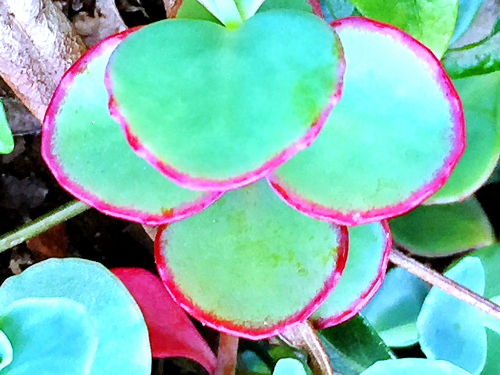 ミセバヤ(玉緒)の葉は浅い緑色に縁に赤色が差して美しい
