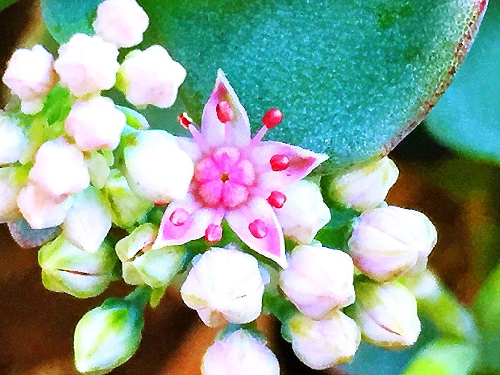ミセバヤは紅色の花弁が5枚、雄しべは10本、葯はまだ開いていなくて、濃い赤色