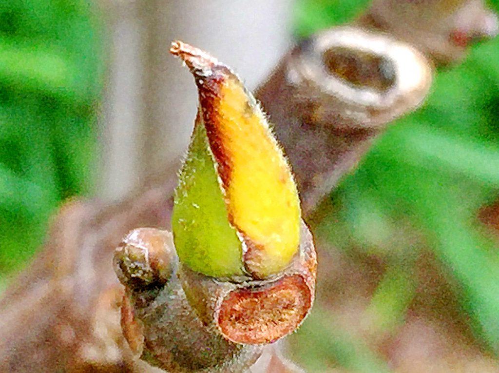 イチジク(蓬莱柿)の芽