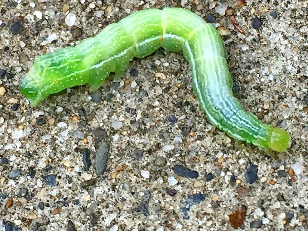 エゾギクトリバの終齢幼虫が駐車場を移動中その22日