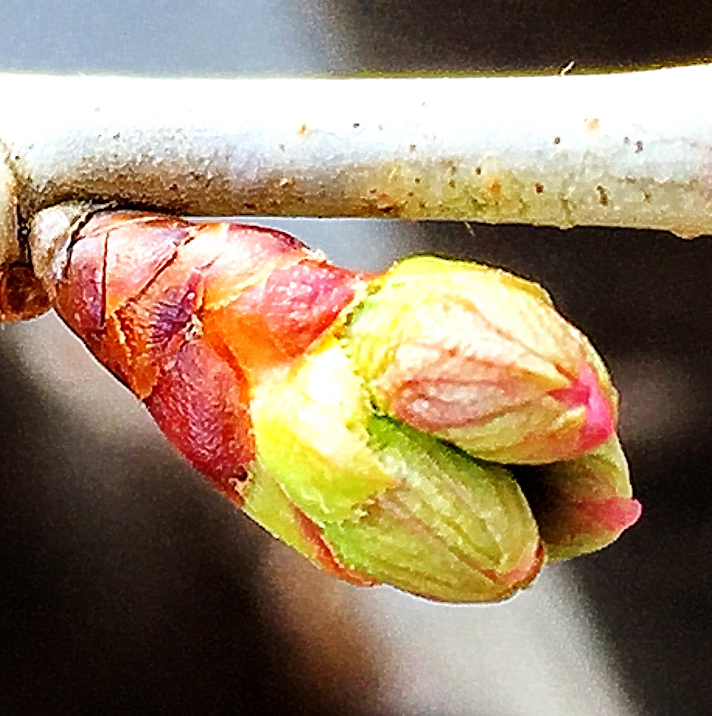 サクランボの花芽