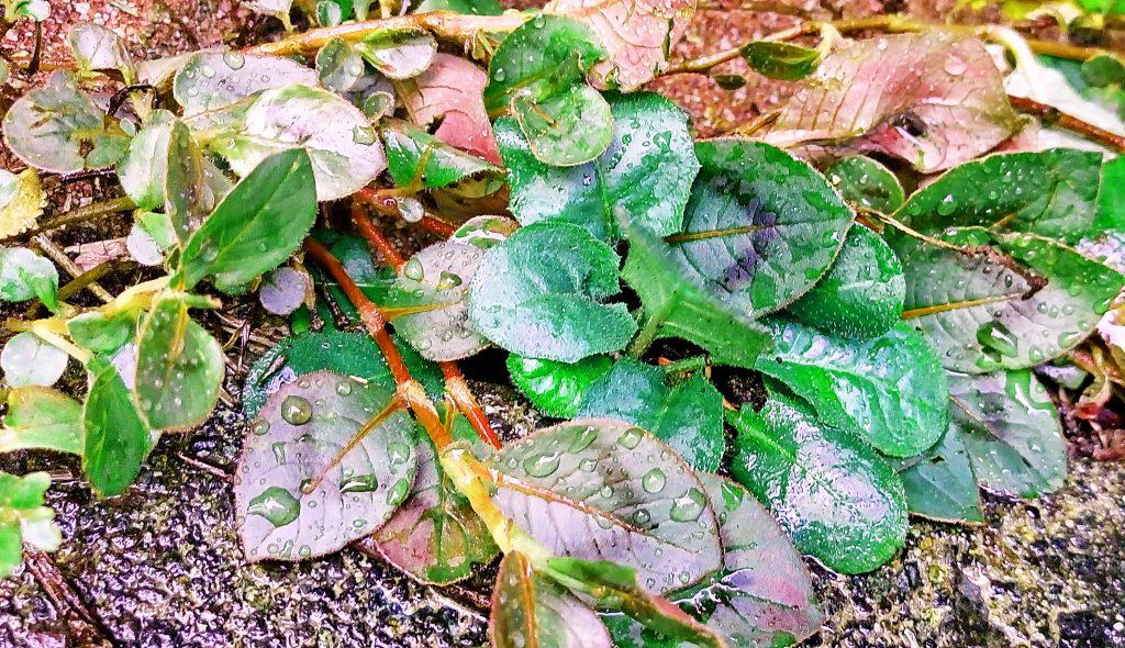 ヒメツルソバの葉は先端が尖った卵形で暗紫色のV字の模様があり、秋には真っ赤に紅葉する