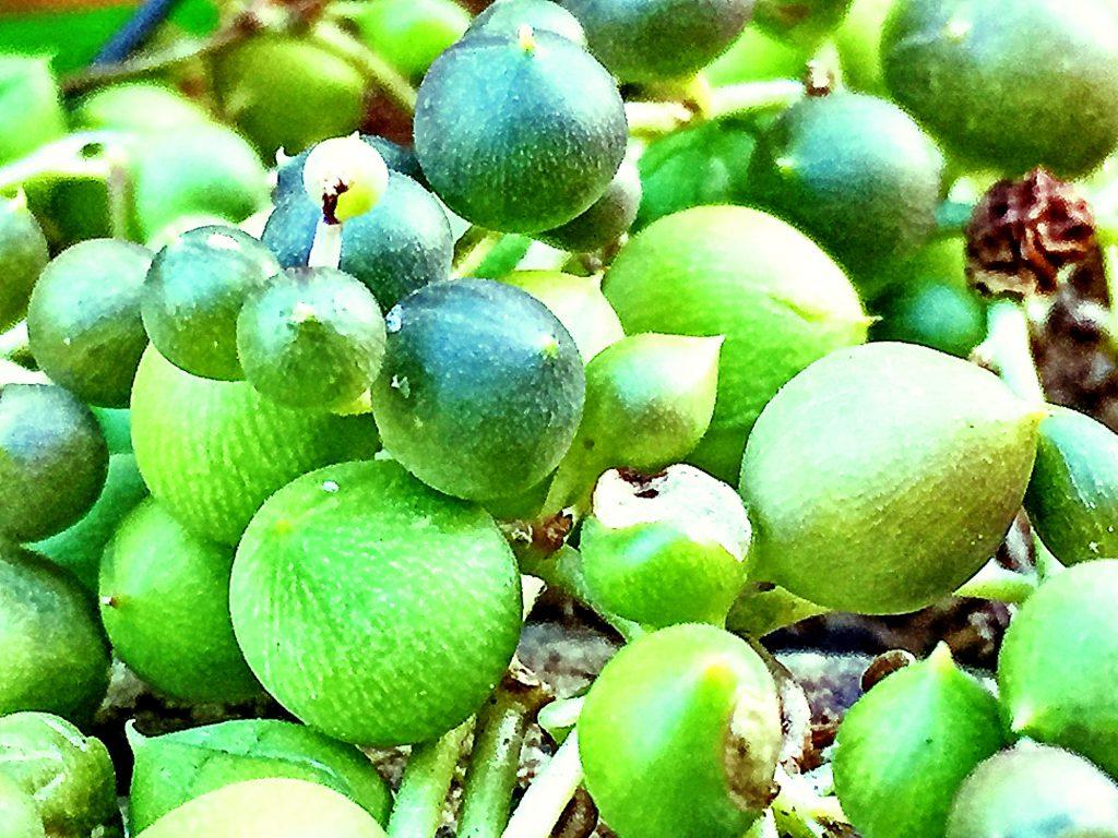 グリーンネックレスは先がちょっと尖った丸い球がネックレスのようにつながって愛らしい涼しげな多肉植物