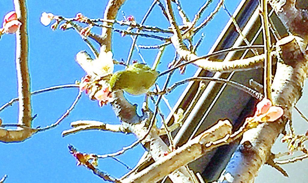 咲き始めのサクランボの花とメジロ