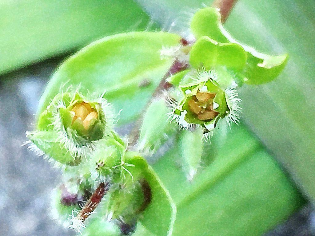 イヌコハコベの5角形もしくは6角形と角張っていて、丸い低い突起がある種子