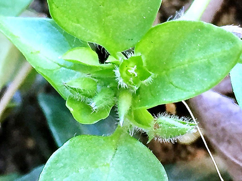 イヌコハコベは先端に密に花柄が短い花を付けます。
