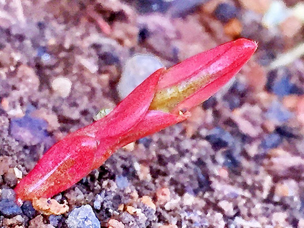 ツルニチニチソウの真っ赤な芽