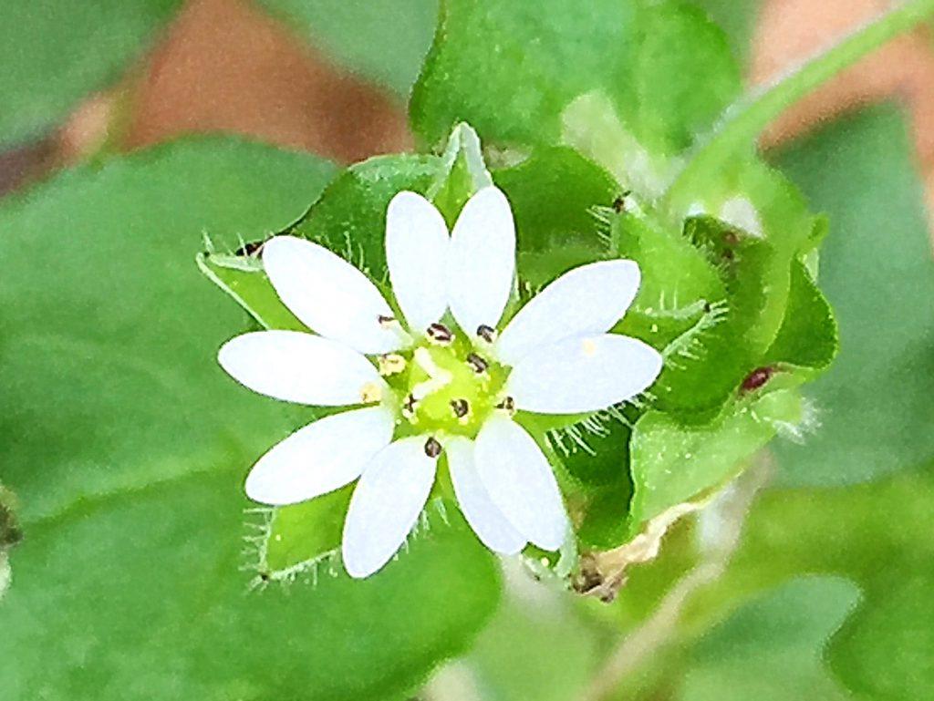 ミドリハコベ(緑繁縷)、花弁は白色で5枚。深く2裂している。花柱は3裂