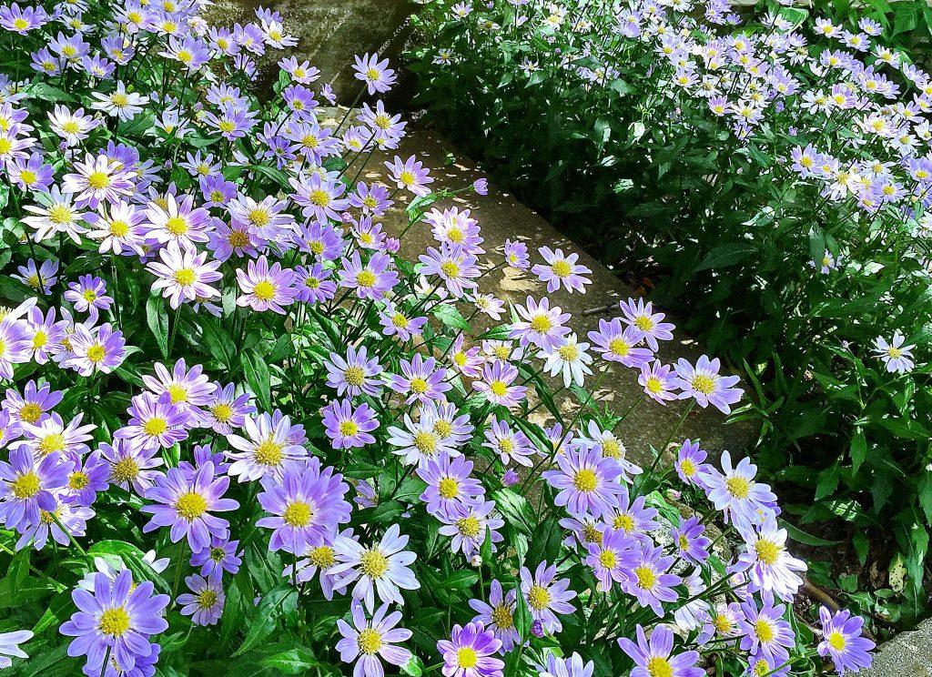 踏み石を挟んで両側をミヤコワスレが咲きそろいました