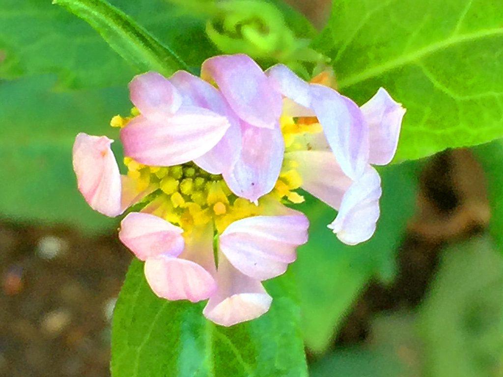 ミヤコワスレの花色は濃い青色、紫、薄い紫、ピンク、白色