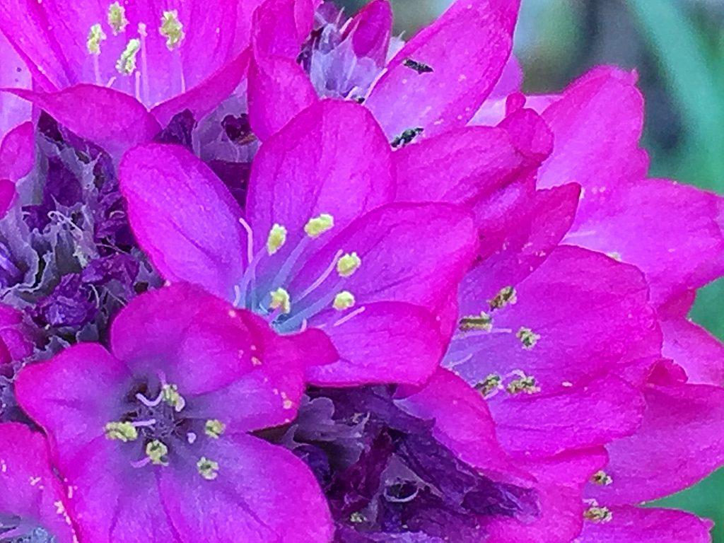 アルメリアの花弁は5枚、雄しべは5本。雌しべは5裂しています